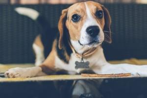 DISC Personality Type C Dog - Beagle