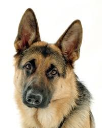 DISC Personality Type D Dog - German Shepherd