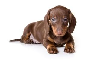 DISC Personality Type I Dog - Dachshund