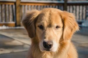 DISC Personality Type S Dog - Golden Retriever 1